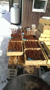 Grape hardwood cuttings stuck in a special soil mixture with rooting hormone. This picture was taken earlier when snow was still on the ground.
