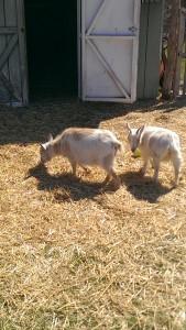 140410_girl_goats